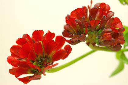 アルストロメリア・レオントキールオバレイ(赤)