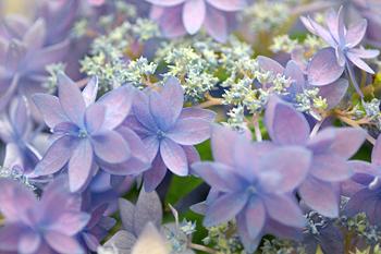 あじさい・山あじさい美方八重(紫)