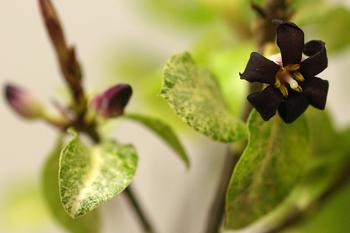 ピットスポラムの花