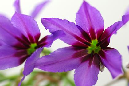 リューココリネ・カラベレ(紫)
